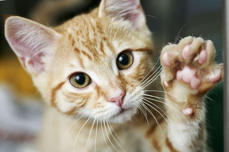 fiv in cats kitten