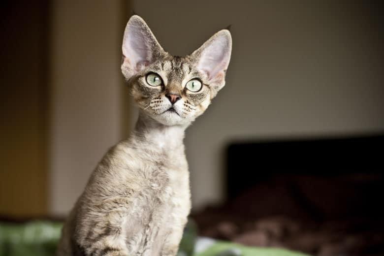 hypoallergenic cat Devon Rex