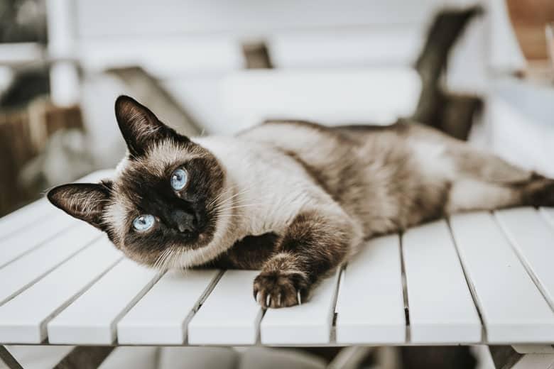 hypoallergenic cat Siamese