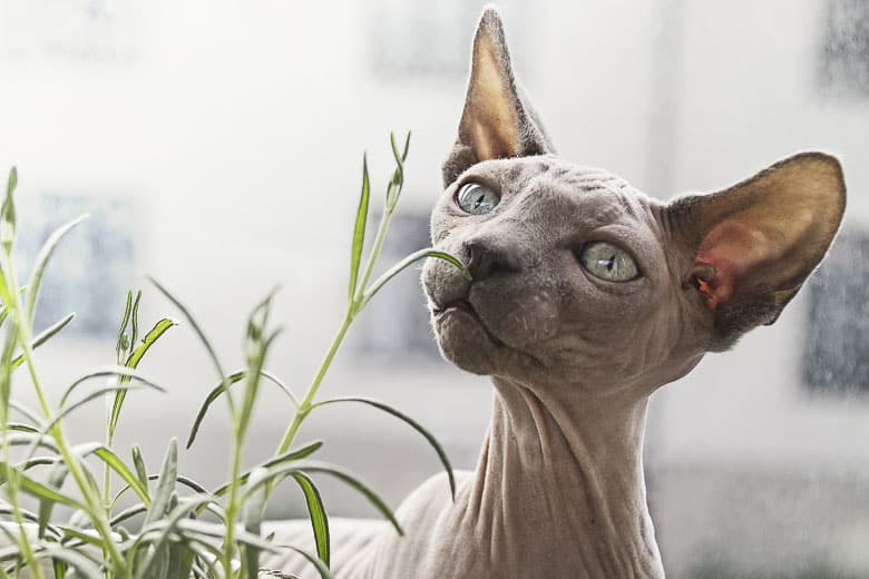 hypoallergenic cat Sphinx hairless