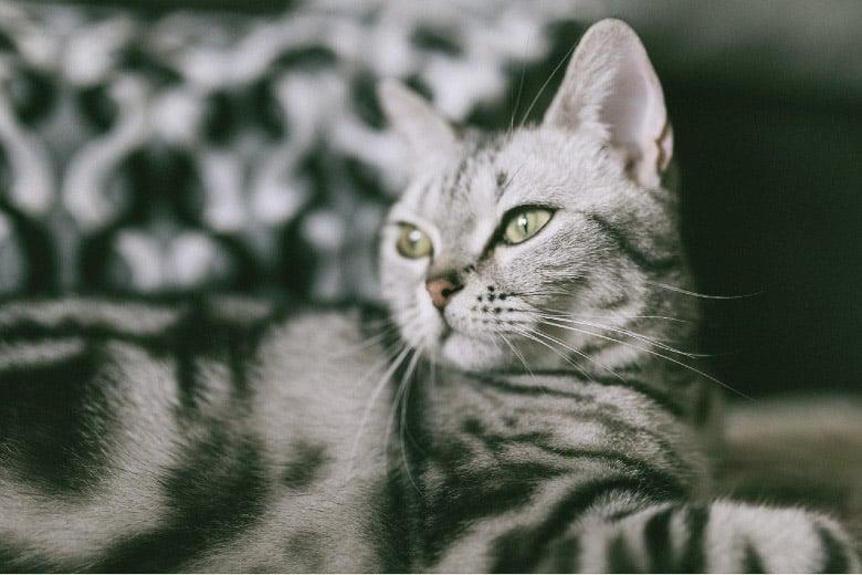 best grain free cat food indoor cats