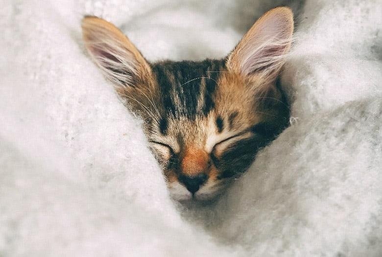 how do cats purr kitten