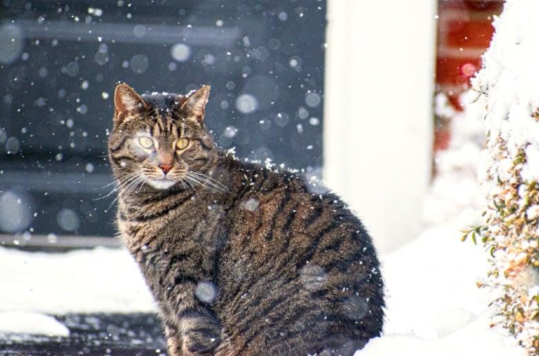cat christmas snow tabby