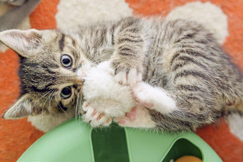 grain free kitten food energy