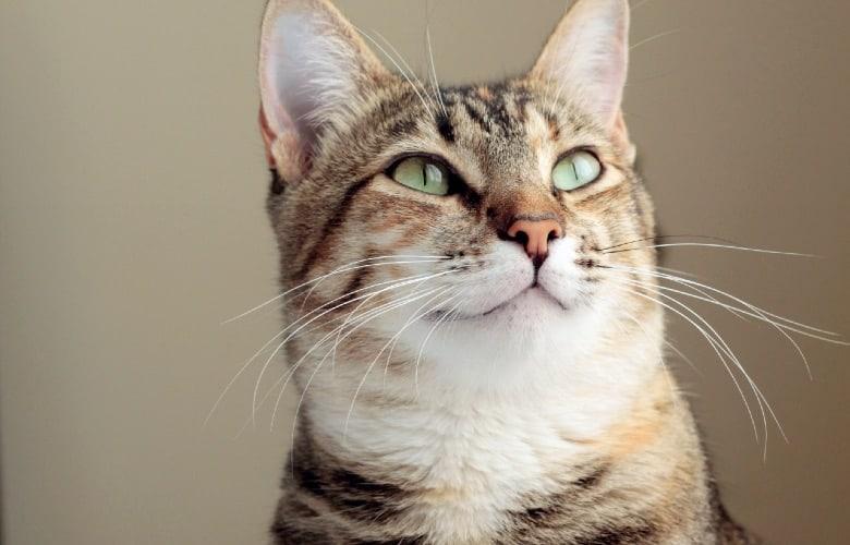 Merrick cat food