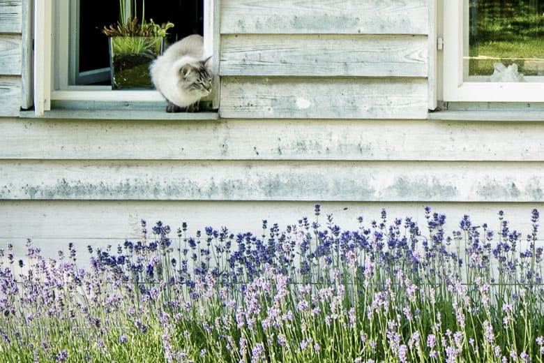 what smells do cats hate lavender