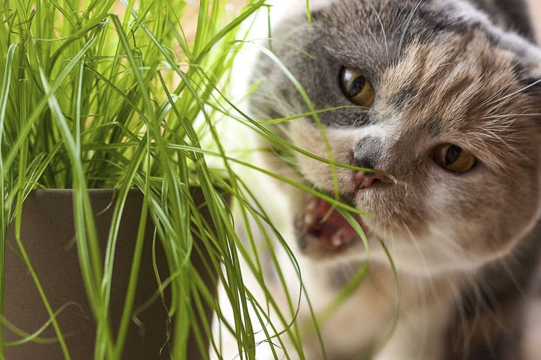 why do cats like milk grass