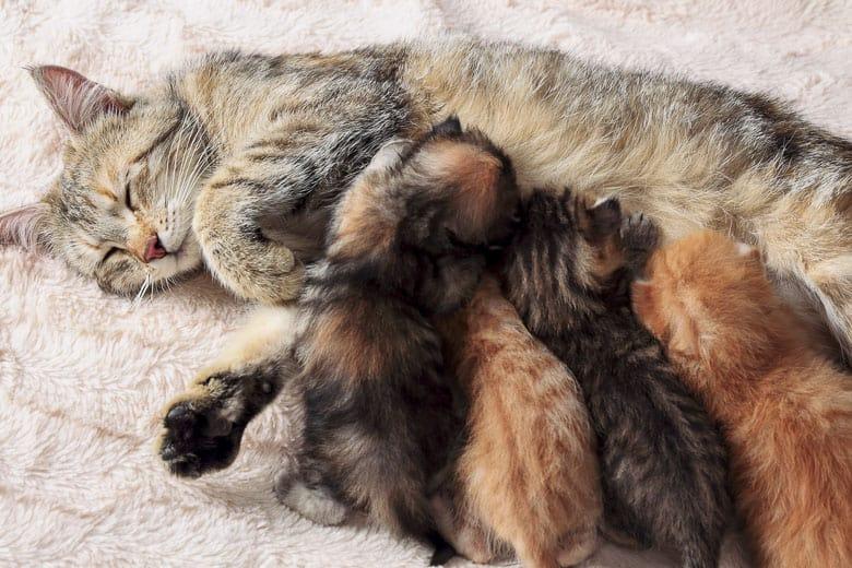 why do cats like milk nursing mom