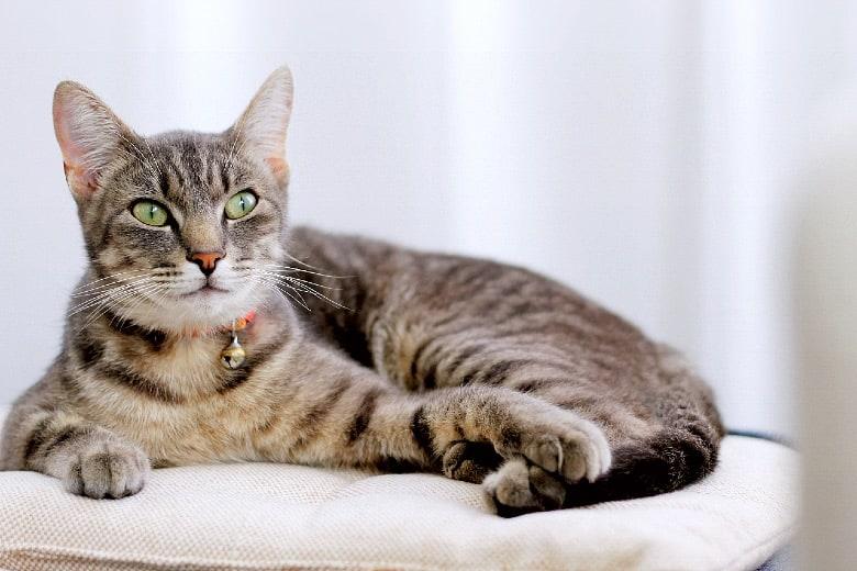Arginine for cats