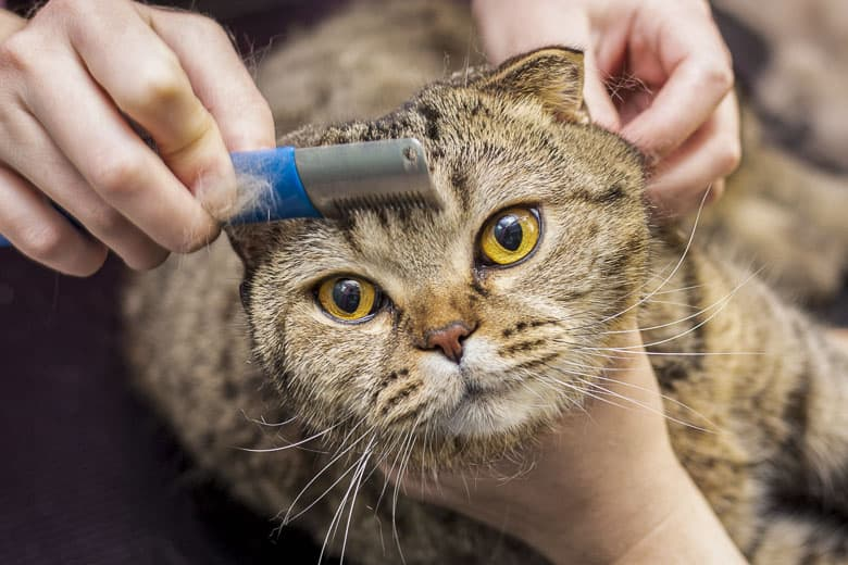 How do indoor cats get fleas comb