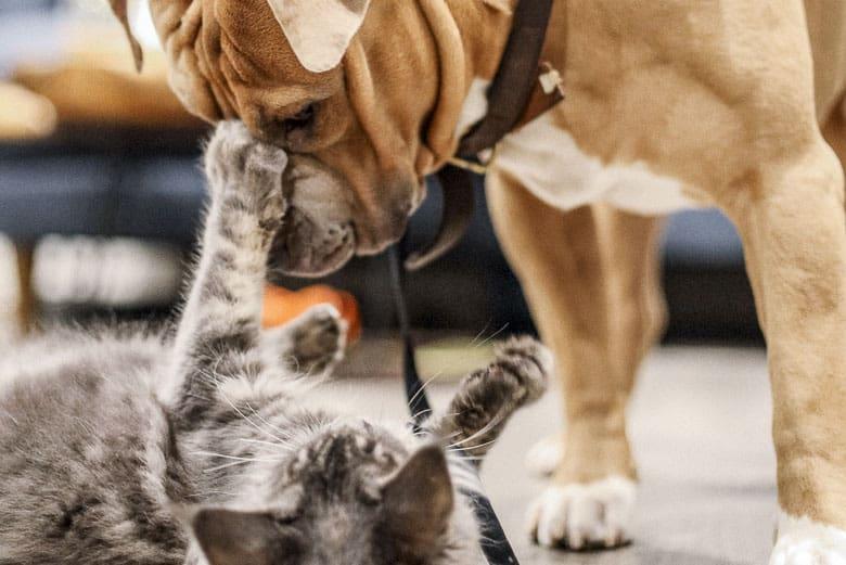 How do indoor cats get fleas dog
