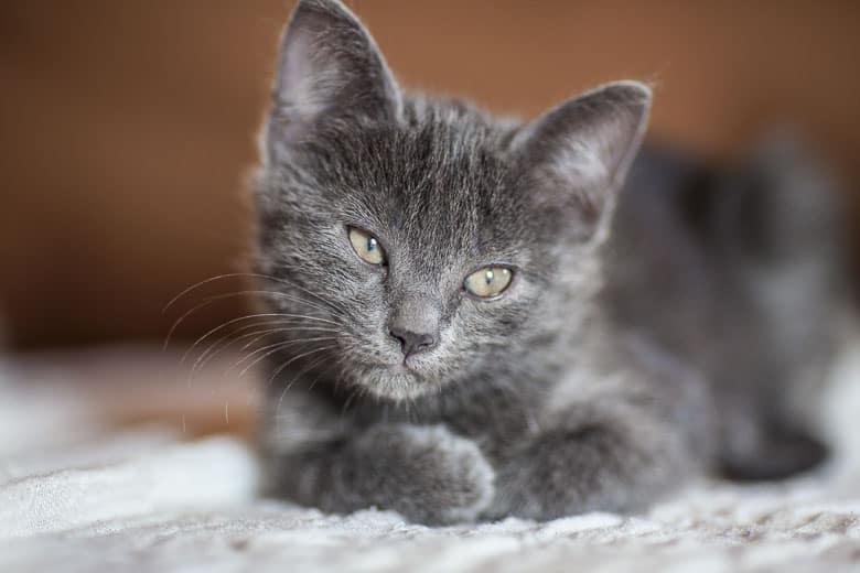 How do indoor cats get fleas kitten