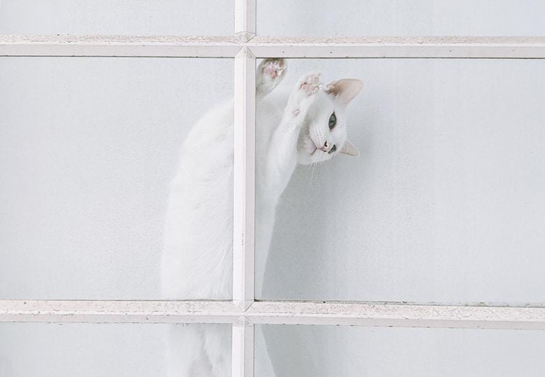 deaf cat blue eyes