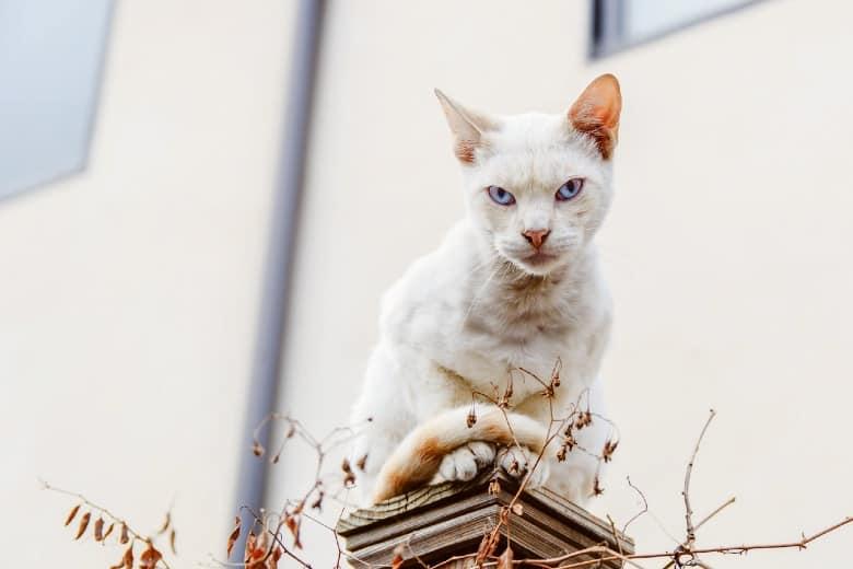deaf cat white cat