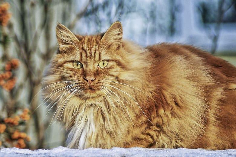 ginger tabby cat breeds