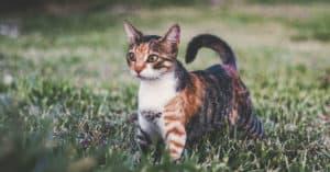 torbie cat