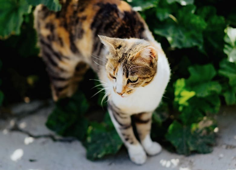 torbie cat calico