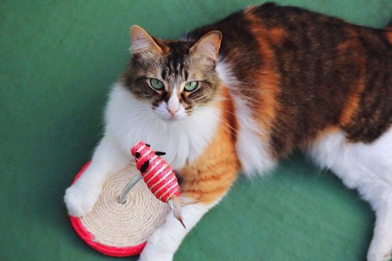 torbie cat longhair