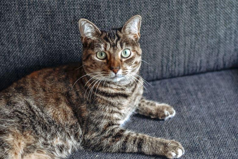 torbie cat tabby