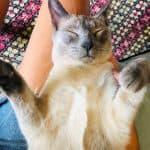 Bobo the Siamese cat