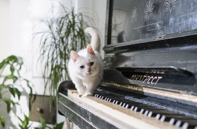 clicker training for cats piano