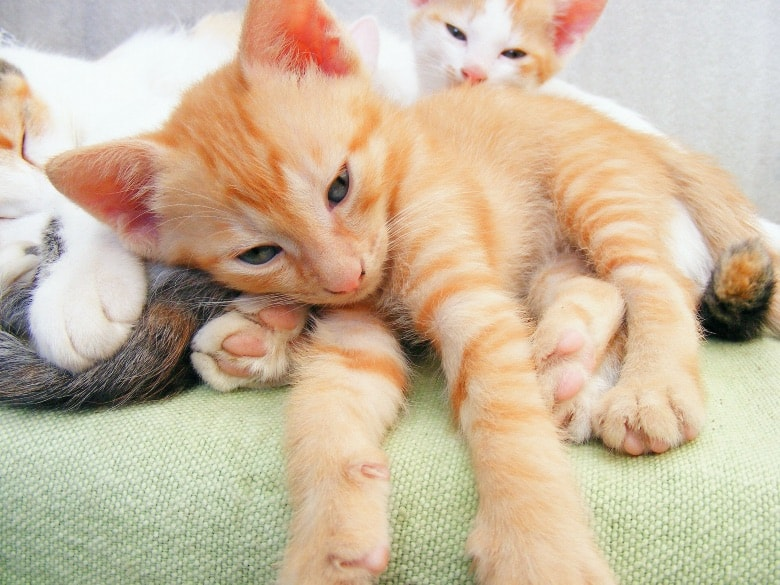 how to get rid of ear mites in cats