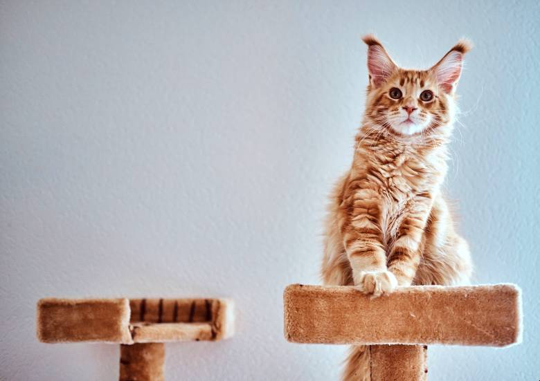Maine Coon cat with ginger coat