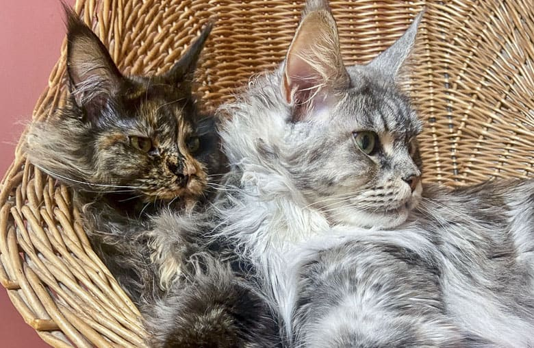 maine coon cat breed indoors