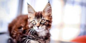 Maine coon cat kitten with tufted ears