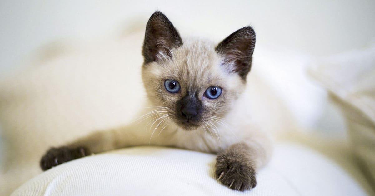 siamese cat kitten