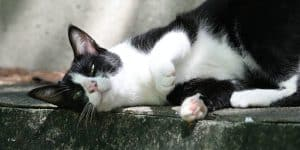 Tuxedo cat laying in the sun